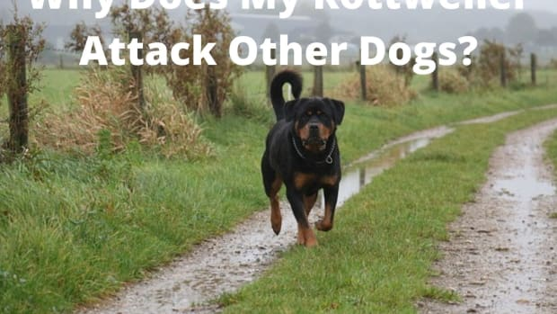 why-does-my-rottweiler-attack-other-dogs