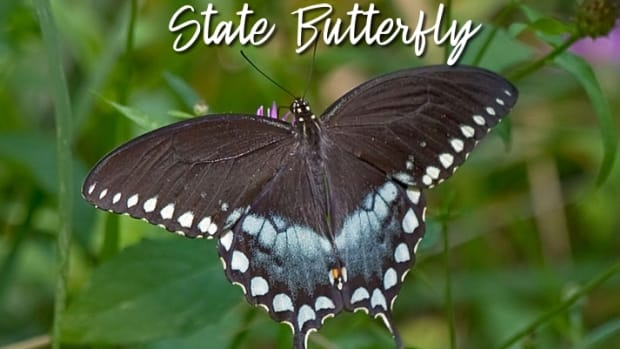 the-state-butterfly-of-mississippi