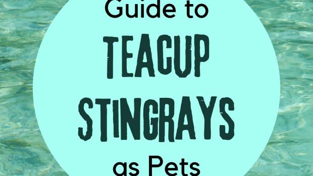 teacup-stingrays