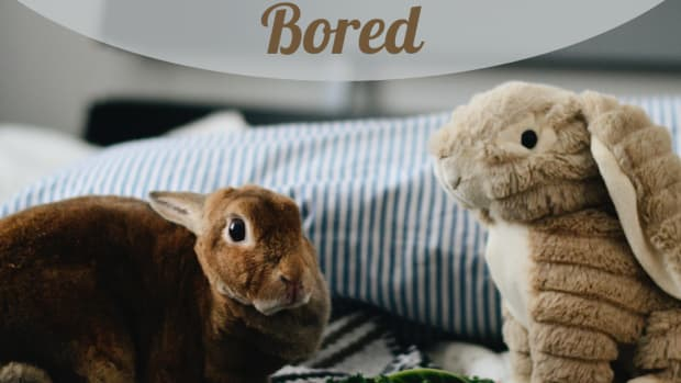 the-bored-bunny---how-to-entertain-your-rabbit