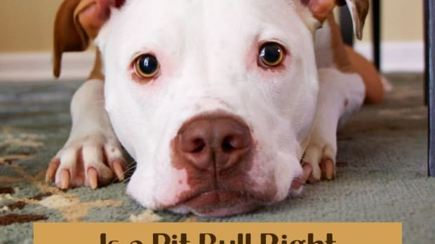 is-a-pit-bull-right-for-me-and-my-family