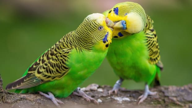 this-is-why-budgies-are-better-in-pairs
