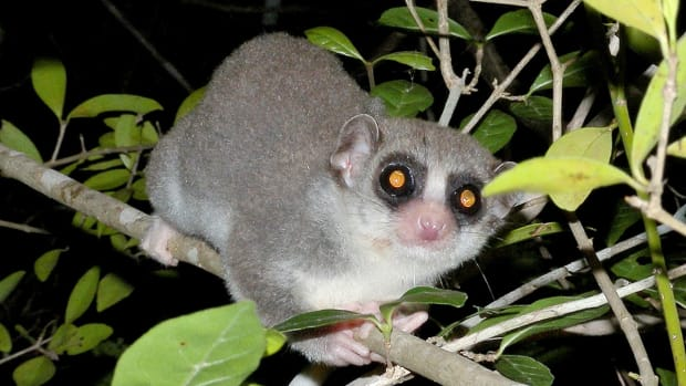 fat-tailed-dwarf-lemur-an-interesting-primate-that-hibernates