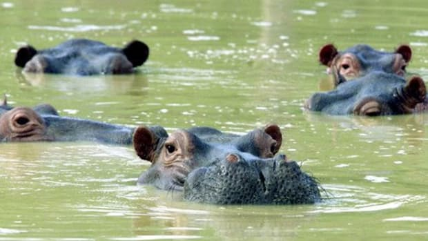 colombia-has-a-hippo-problem