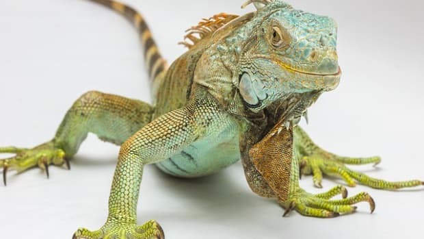 green-iguana-basic-care