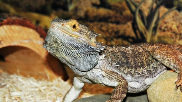 bearded-dragon-basic-care