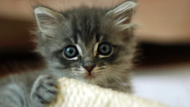 adopting-a-kitten-from-a-shelter-how-to-prepare
