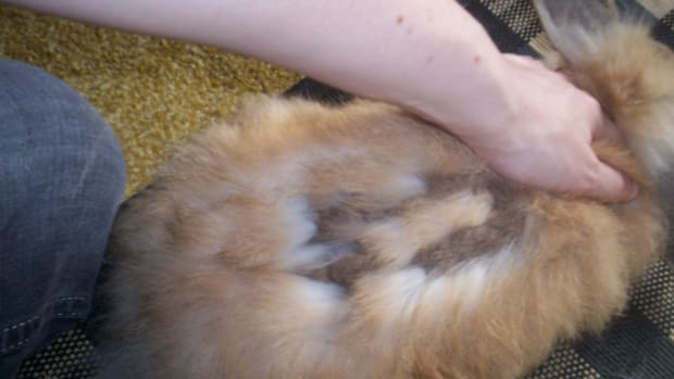 long-haired-bunny-care-guide-the-great-bunny-moult--what-to-do-when-all-your-rabbits-fur-falls-out