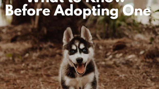things-you-should-know-before-adopting-a-siberian-husky