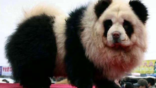 Panda Dog - New Species of Hybrid Panda/Dog found in Japan and China! Get this new designer dog while they're HOT!!