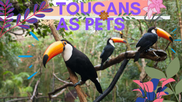 10-reasons-toucans-make-excellent-pets