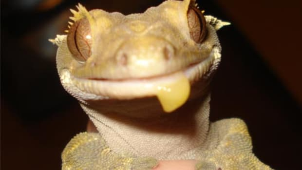 homemade-crested-gecko-diet