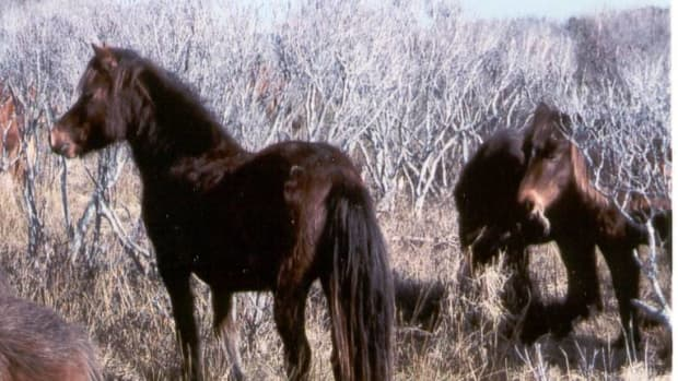Wild Stallion at Shackleford Banks