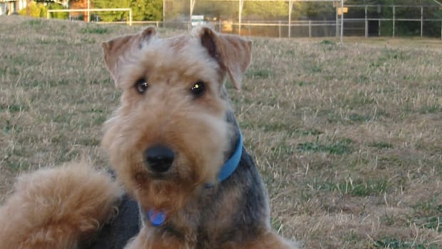 how-not-to-let-your-airedale-terrier-own-you