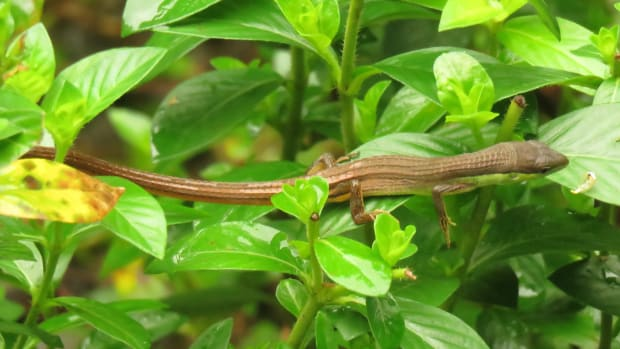 the-long-tailed-grass-lizard
