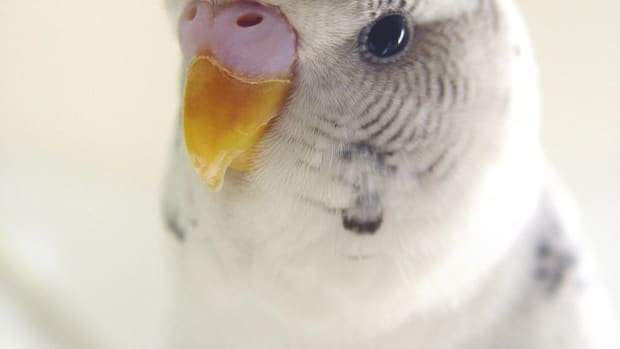 teaching-a-parakeet-to-speak