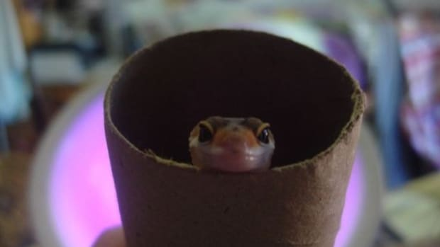 This is my baby leopard gecko Lucille.