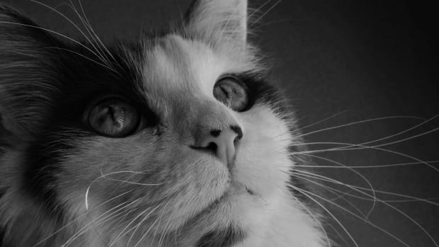 cancer-in-cats-what-you-should-know-about-feline-cancer