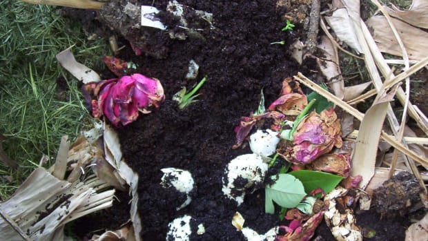Compost - yard waste, egg shells, and roses - kind of pretty, isn't it? (photo by Dolores Monet)