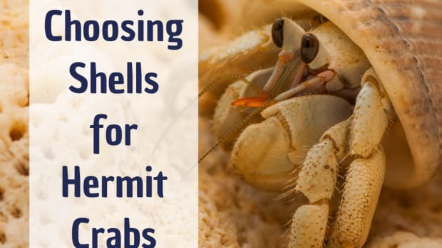 how-to-choose-hermit-crab-shells