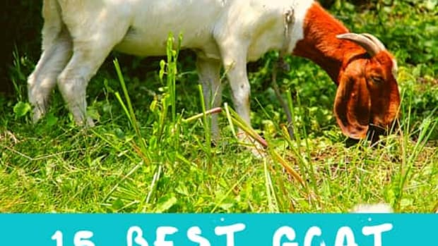 best-meat-goat-breeds