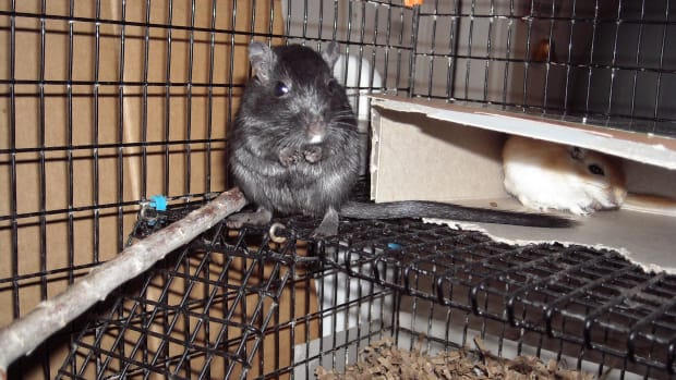 This is Midnight, out gerbil... she  has a feisty spirit and is very fun!
