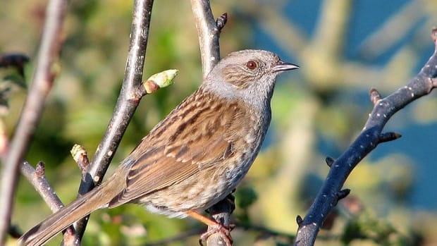 the-dunnock-and-its-odd-mating-behaviour