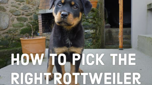a-guide-to-choosing-your-rottweiler-puppy