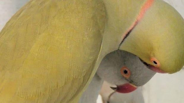 indian-ringneck-parrots