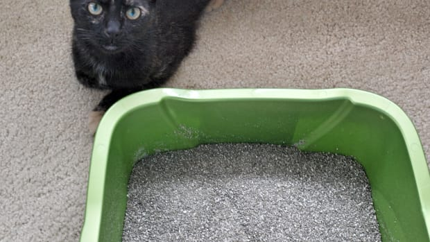 how-to-litter-box-train-a-stray-kitten