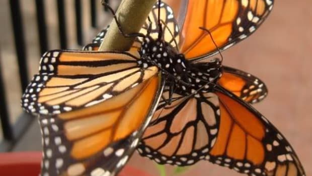 Homosexual male Monarch butterfly behaviour