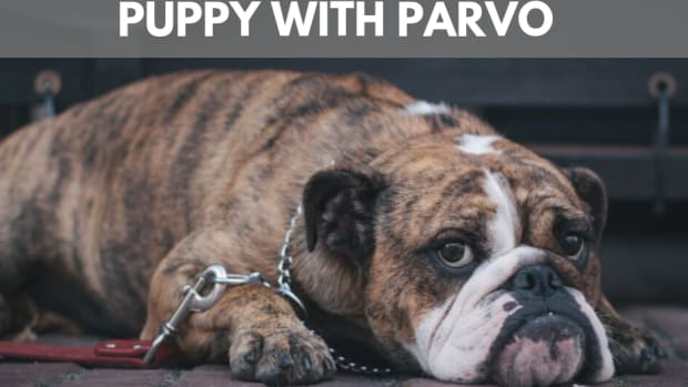 if-your-puppy-has-parvo