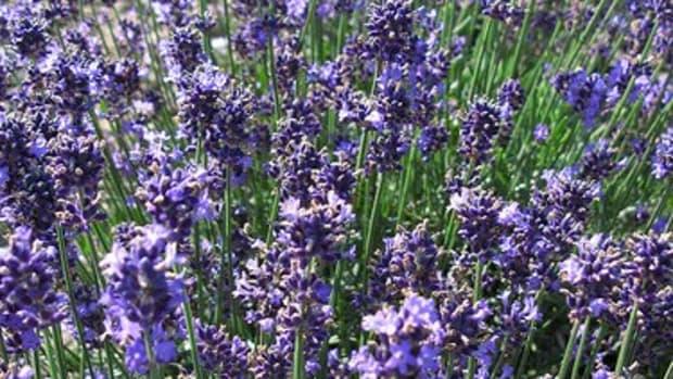 Lavender growing in Japan.