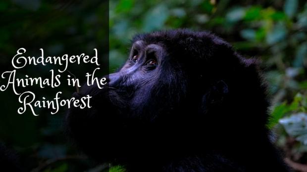 endangered-animals-of-the-rainforest