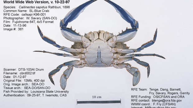 Male blue crab.