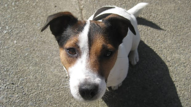 common-jack-russell-problem-behaviors-and-what-to-do-about-them
