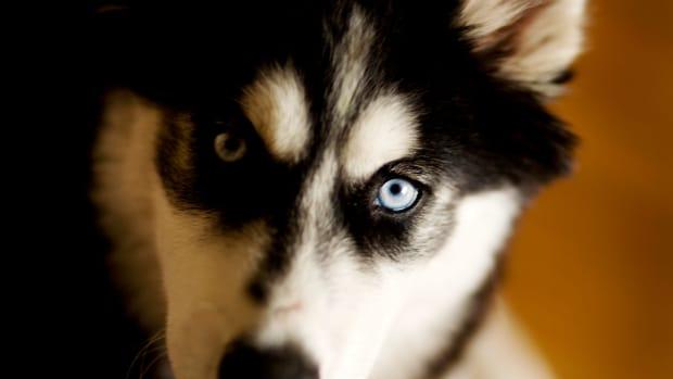 colors-of-siberian-huskies