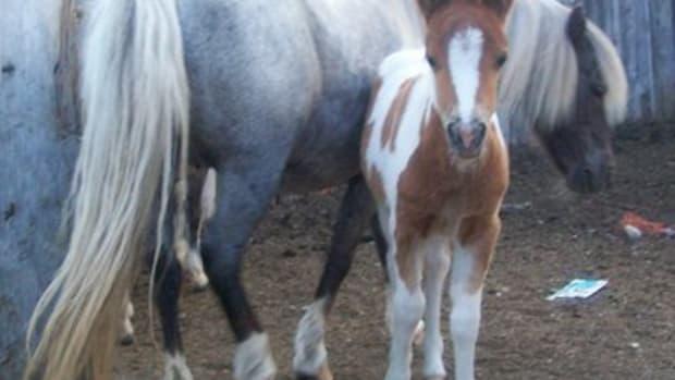 breeding-miniature-horses