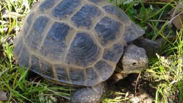 russian-tortoises-health