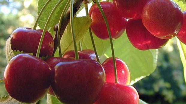 best-advice-for-growing-cherry-trees-in-pots