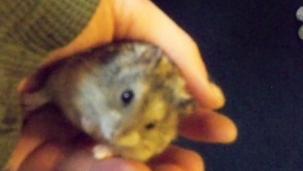 One of our little 6 week old Dwarf hamster.
