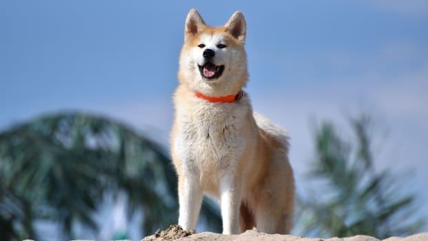 dog-breeds-the-akita