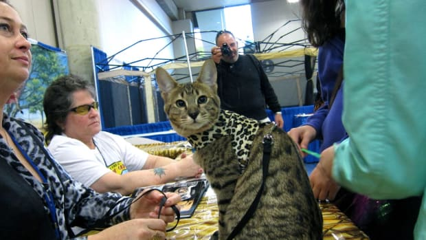 savannah-cats