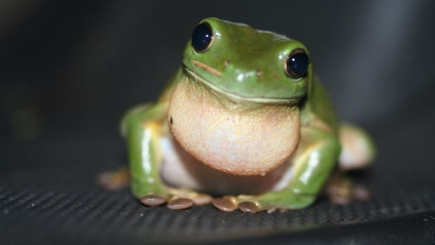 Almost appearing with cartoon-like features; wouldn't you want to take care of this one as a pet?