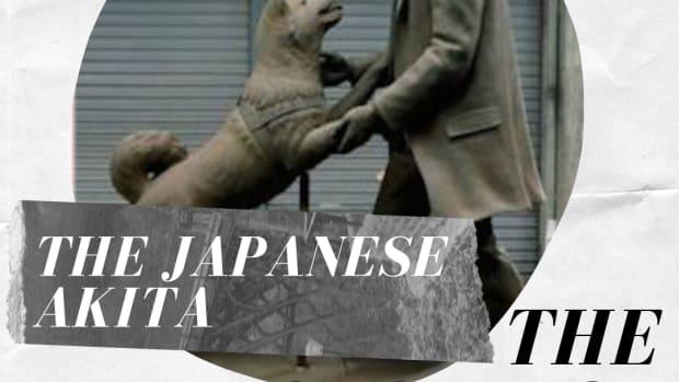 akita-inu-the-story-of-hachiko-the-loyal-akita-dog