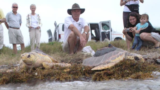 Release of Sea Turtles with tracking devices at Gumbo Limbo Nature Center in Boca Raton, Florida