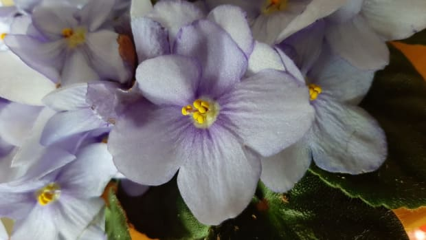 how-to-grow-african-violets-from-leaves