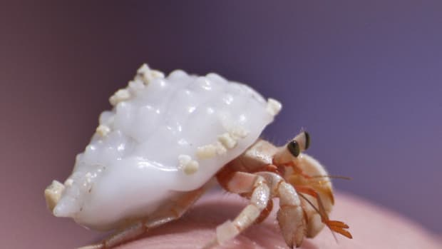 what-to-do-when-your-hermit-crab-is-molting