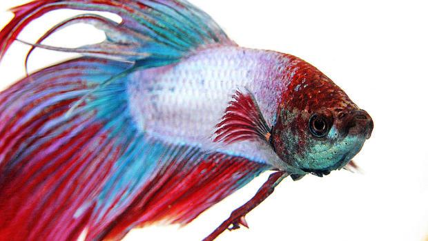 fish-care-siamese-fighting-fish
