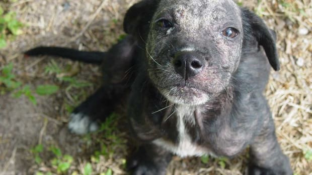home-remedies-for-dogs-with-mange